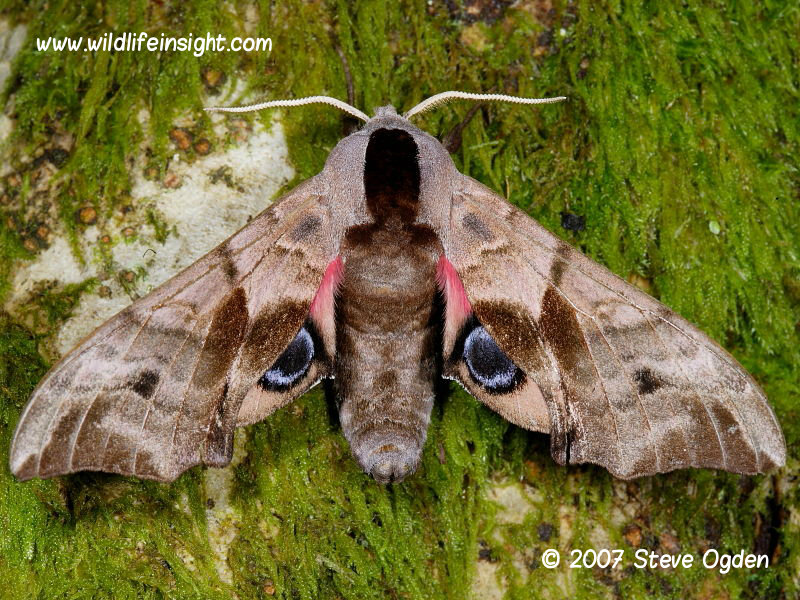 Eyed Hawkmoth And Caterpillar  Smerinthus Ocellata