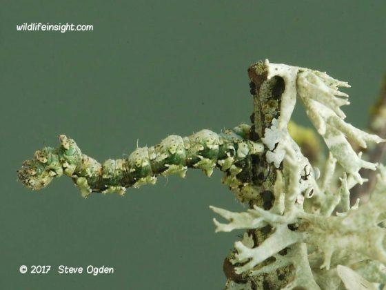 Caterpillars on lichen