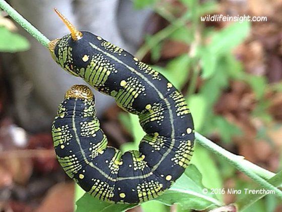 California plague of caterpillars