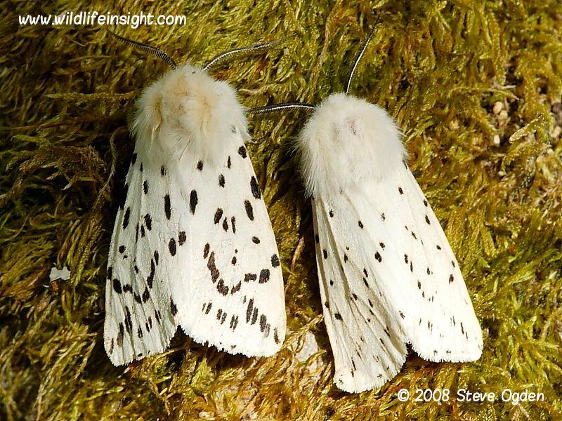 White Ermine Moth And Caterpillar  Spilosoma Lubricipeda