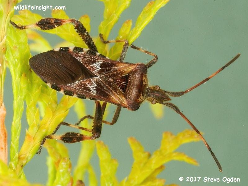 Western Conifer Seed Bug – Leptoglossus occidentalis