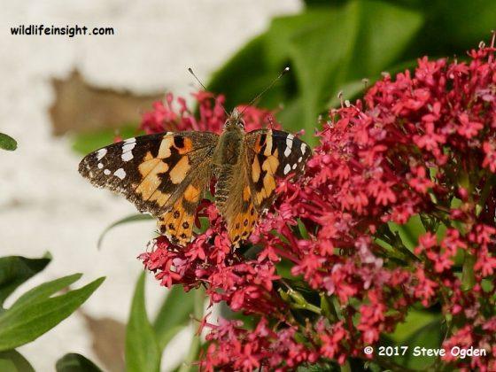 Winter butterflies in Cornwall