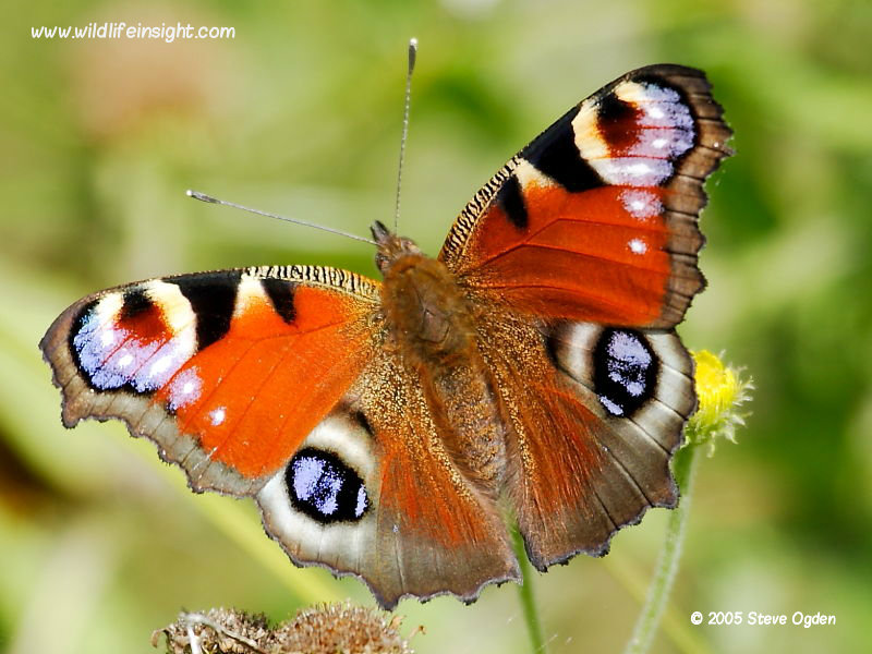 Peacock Butterfly And Caterpillar  Inachis Io