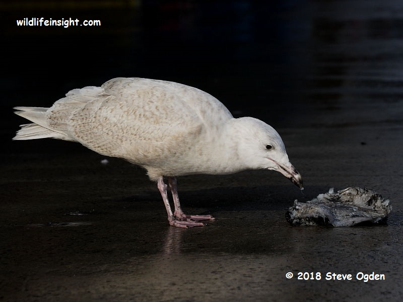 Uncommon Cornish winter gulls – Glaucous, Iceland and Kulmien's