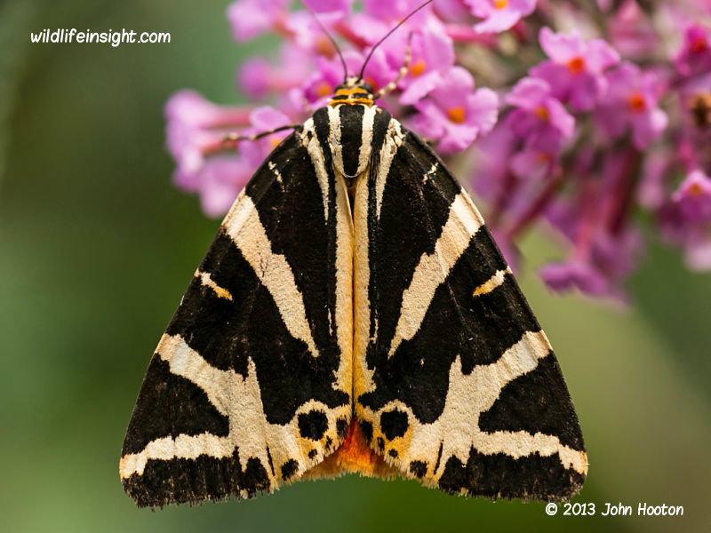 Jersey Tiger Moth And Caterpillar  Euplagia
