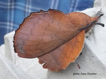 The Lappet Moth (Gastropacha quercifolia)