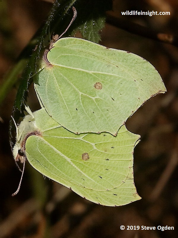 Brimstone butterflies (Gonepteryx rhamni) this male and female were 2 of over 30 seen in Cabilla Woods, Bodmin in February © 2019 Steve Ogden