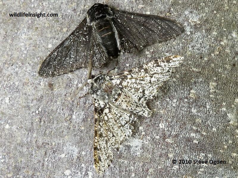 Peppered Moth And Caterpillar  Biston Betularia