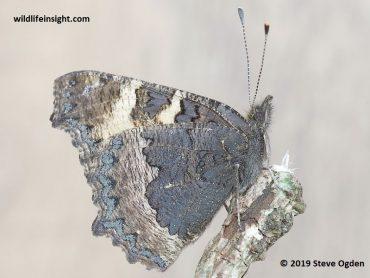 A January Butterfly