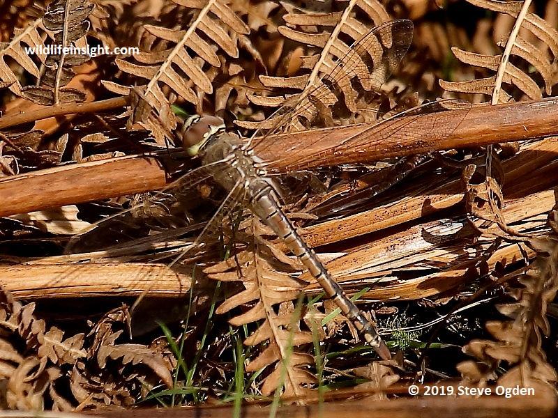 Vagrant Emperor dragonfly (Hemianax ephippiger) Cabilla Woods,  Bodmin © 2019 Steve Ogden