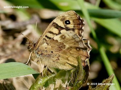 Speckled Wood Butterfly seen at Predannack on the Lizard. Cornwall