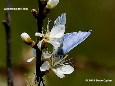 First Holly Blue Butterfly of the year