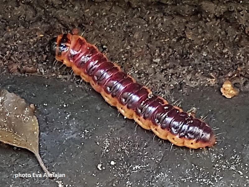 German caterpillars