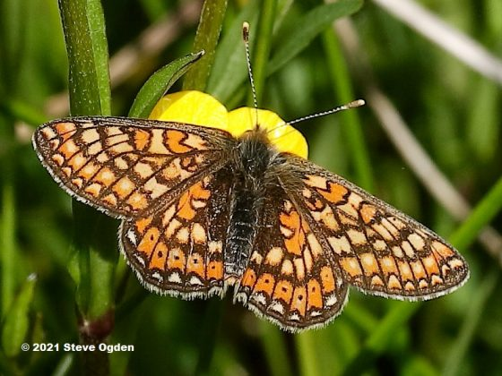 Marsh Fritillary butterfly success story