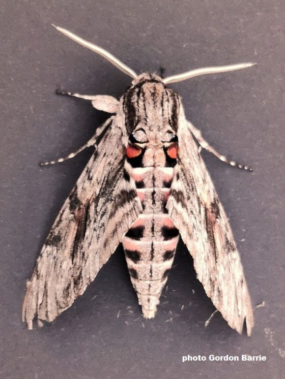 Very large moths arriving in the UK