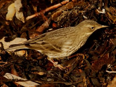 Rock Pipit on Pendower Beach
