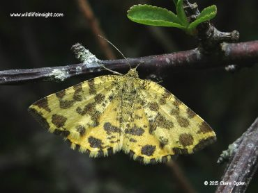 Yellow daytime flying moth