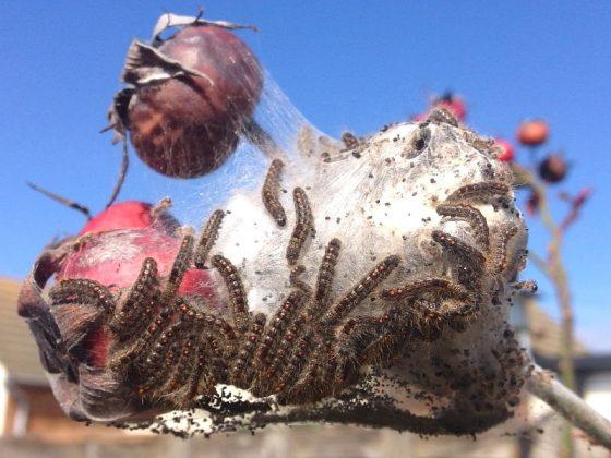 Hairy caterpillar health warning